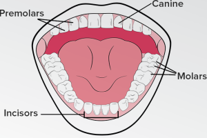 Four Different Types of Teeth and Their Function | Shervin ...