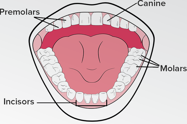 Four different types of teeth their function article dentalblog ccuart Image collections